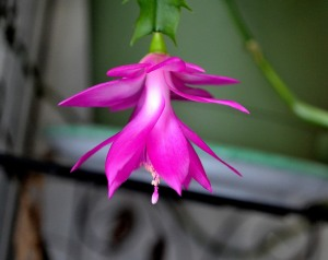 Christmas cactus finally after all these years blooming.