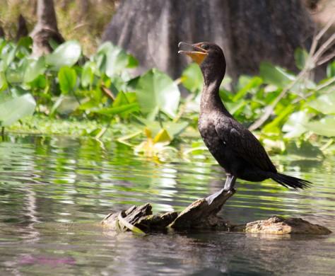 silver-river-bird